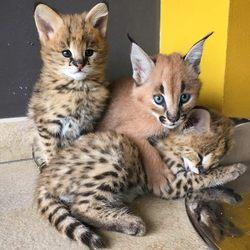Awesome 2018 Exotic savannah, servals, and caracal kittens