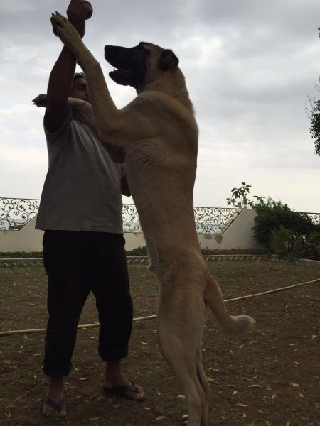 ANATOLIAN SHEPHERD ( KANGAL )  MALE FOR SALE