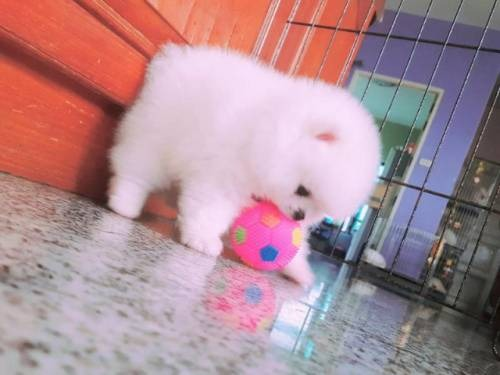 Pomeranian Puppies for addoption