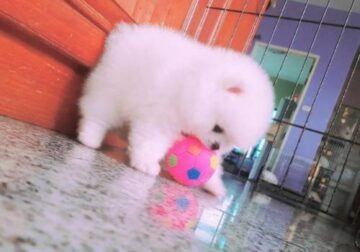 Pomeranian Puppies for addoption