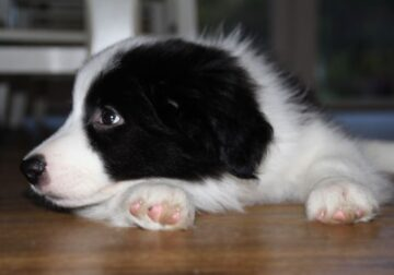 Gorgeous border collies puppies available