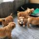Super champion male & female English bulldog puppies for sales