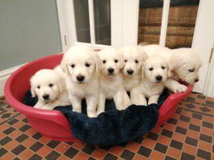 Beautiful Golden Retriever Puppies