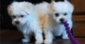 Our adorable male and female Maltese puppies