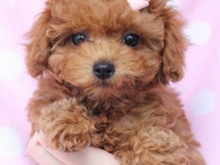 Beuatiful toy poodle puppies ready to go now