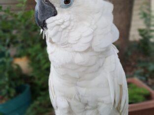 Very Friendly Umbrella Cockatoo Parrots for Sale