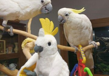 Pairs of amazing umbrella cockatoos parrots available