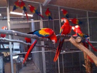 Pet Macaw Parrot Birds Species on Sale