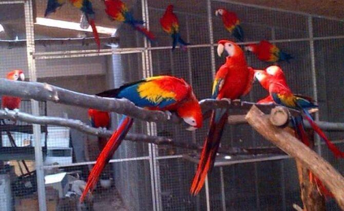 Pet Macaw Parrot Birds Species on Sale