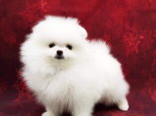 Beautiful Pomerainan Puppies for sale