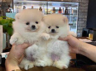 Beautiful White Pomeranian Pups