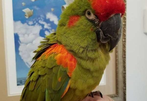Red fronted macaws parrots available for adoption