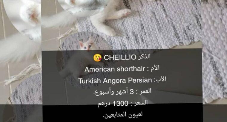 Cheillio & Cheillia