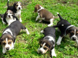 Gorgeous Beagle Puppy