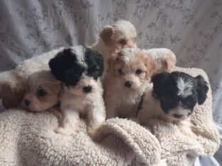 Adorable Cavachon puppies