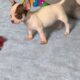 Adorable Chihuahua Pupppies