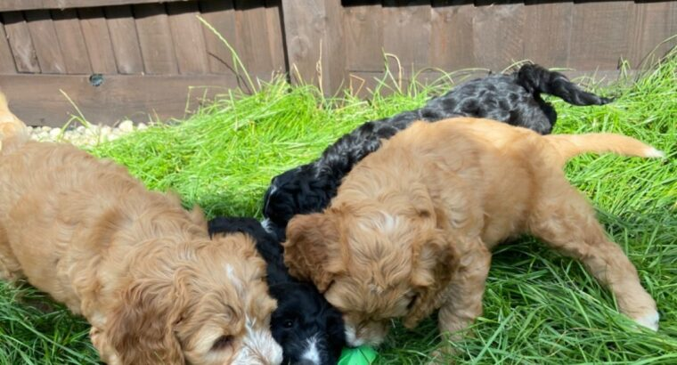 Adorable Cockapoo Puppies