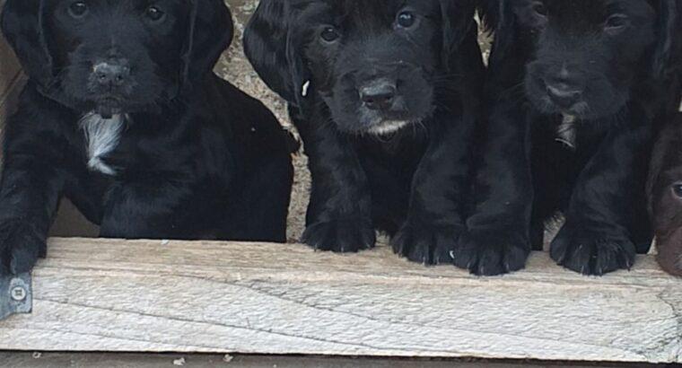 Cocker Spaniel Puppies