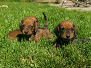 Beautiful Standard Dachshund Puppies