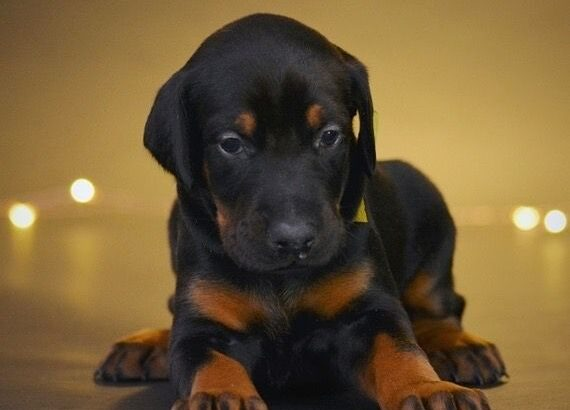 Gorgeous Doberman puppies