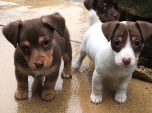 Lovely Jack Russell Terrier Puppies