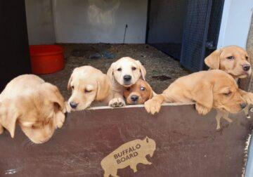 Gorgeous Labradoodle puppies