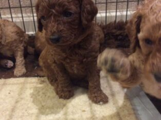 Lovely Teacup Poodle Puppies