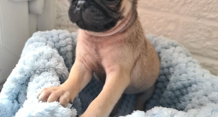 Registered male and female Pug Puppies