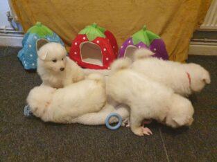 Beautiful Samoyed Puppies