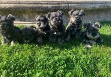 Adorable male and female Schnauzer Puppies