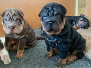 Adorable Shar Pei Puppies