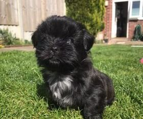 Sweet male and female Shih Tzu Puppies