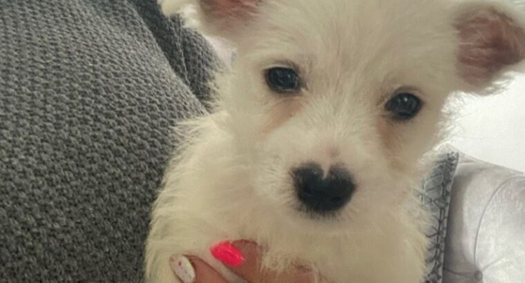 Lovely West Highland White Terrier Puppies