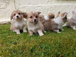 ** Ready Now **Corgi Puppies**